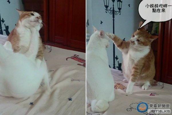 小胖貓「布丁」肚子餓 在奴才面前大翻滾:給我飯飯!