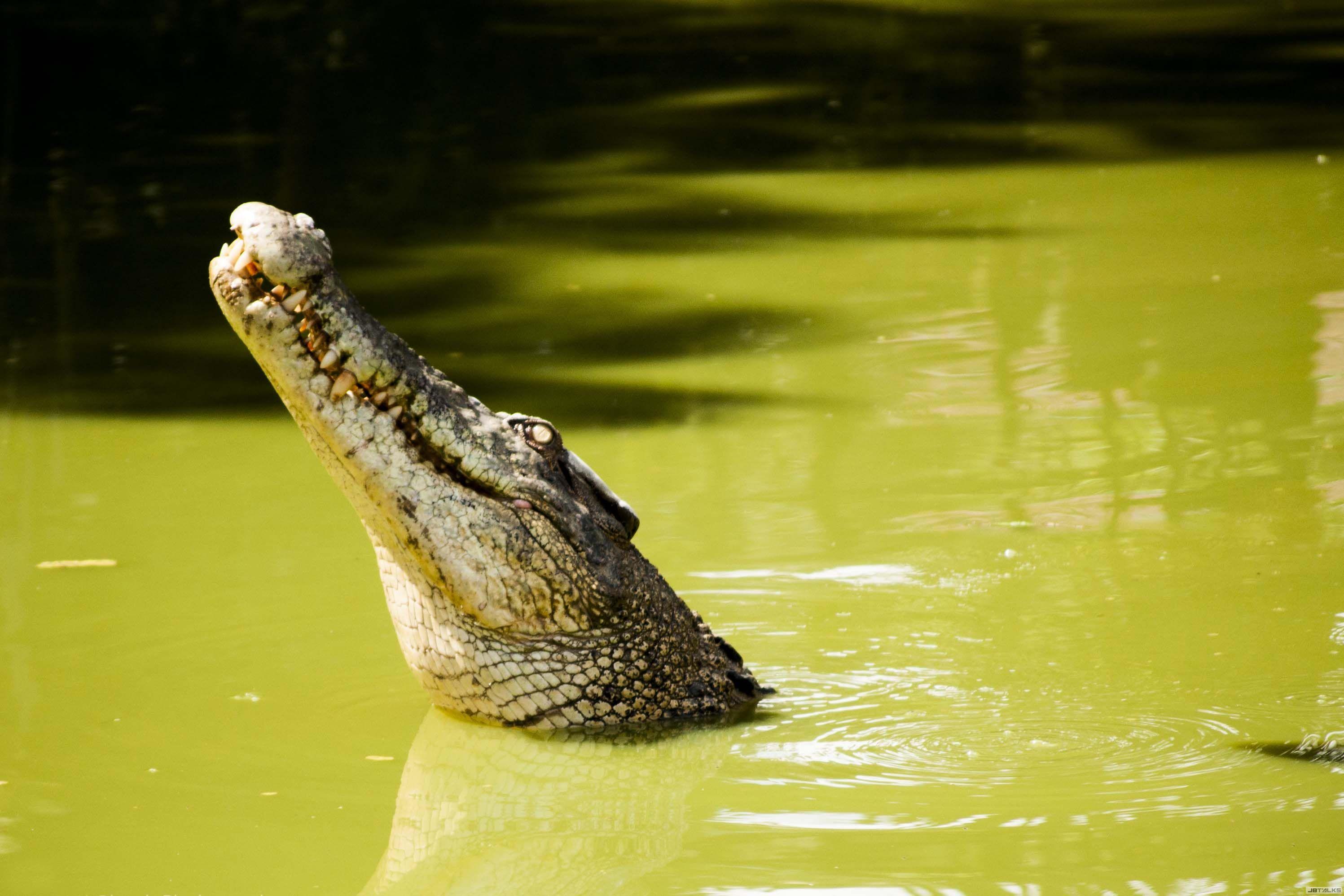 鳄鱼(就是没对准吧唉)