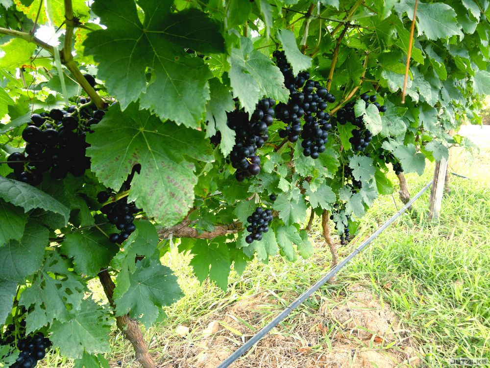 Table-Grapes-Fresh-All-Year-Around-2.jpg