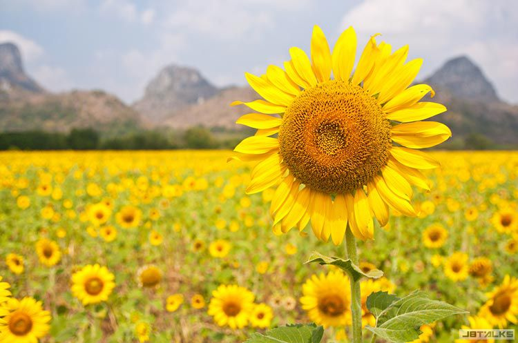 lopburi-sunflower-fields-l.jpg