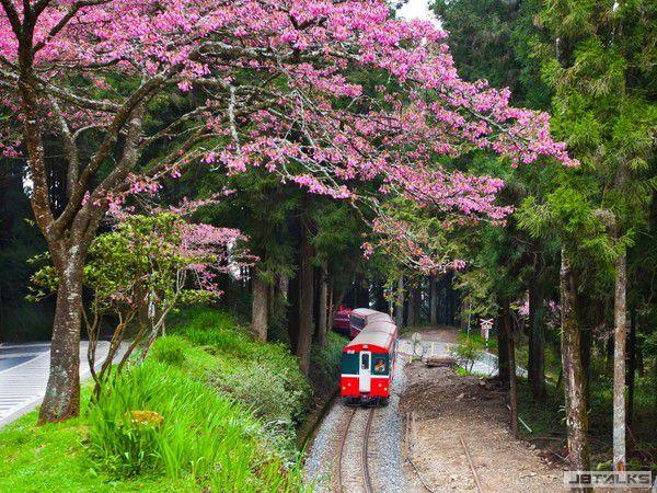 cherry blossom 002.jpg